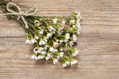 Blank card among chamelaucium flowers (waxflower) Stock Images