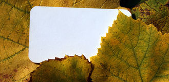 Blank card and fallen grape leaves Royalty Free Stock Image
