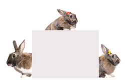 Blank card for text with three bunnies Stock Image