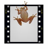 Blank film strip frame and tree frog isolated. On white, simple text Stock Photos