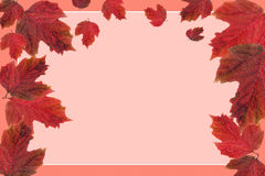 Blank (frame) with Red leaf viburnum. Red leaf viburnum isolated on pink background Royalty Free Stock Image