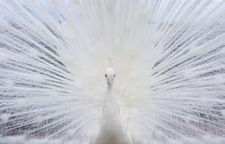 Blank peacock Stock Photography