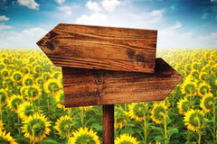 Blank Rustic Opposite Direction Wooden Sign in Sunflower Field. Blank Rustic Opposite Direction Wooden Sign in Blooming Sunflower Field, Concept of Choice stock photos