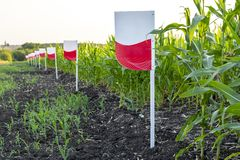 A blank sign at the edge of the field to indicate the variety of cultivated corn. Agriculture Ukraine. Space for text. Copy space royalty free stock image