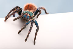Blank sign - Greenbottle Blue Tarantula Royalty Free Stock Image