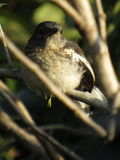 A Blank Stare From An Oriental Magpie-Robin - Female. An Oriental Magpie-Robin & x28;Female& x29; Perching And Staring From A `Rambutan` Tree Branch Royalty Free Stock Images