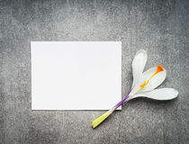 Blank white card with crocus flower, top view, close up. Springtime Stock Images