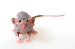 Blanke Ratte Stockfotos