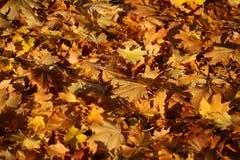 Blanket of fallen maple leaves Stock Photos