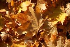 Blanket of fallen maple leaves Stock Image