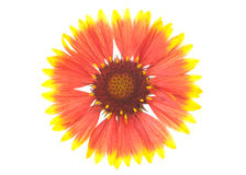 Blanket flower Stock Image