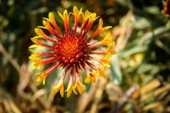 Blanket Flower in Blossom Stock Image