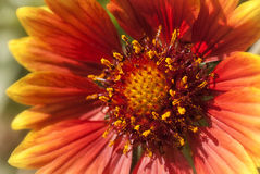 Blanket Flower Royalty Free Stock Photo