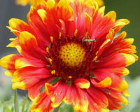 Blanket Flower and Bug. Close up of a bright red and yellow blanket flower with his little green bug buddy royalty free stock images