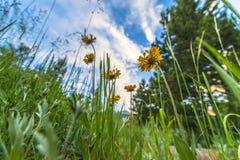 Blanket flower Gaillardia aristata Royalty Free Stock Photography