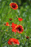 Blanket flower (Gaillardia aristata) Royalty Free Stock Images