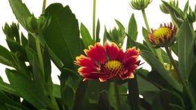 Blanket Flower(Gaillardia) Time-lapse stock footage