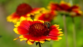 Blanket flower Stock Images