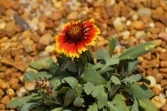 Blanket flower Latin name gillardia pulchella Royalty Free Stock Photos