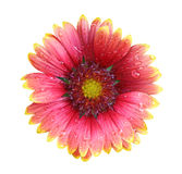Blanket Flower Stock Photos