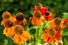 Blanket Flower Royalty Free Stock Images