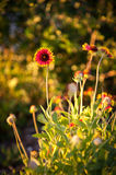 Blanket flowers Stock Photos