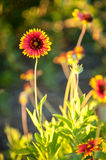 Blanket flowers Royalty Free Stock Photo