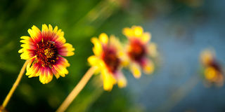 Blanket flowers Royalty Free Stock Photos