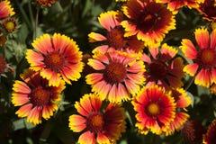 Blanket Flowers Gaillarda Arizona Sun. Group of Blanket Flowers Gaillarda Arizona Sun Stock Photography