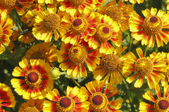 Blanket flowers (Gaillardia aristata) Royalty Free Stock Photo