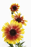 Blanket flowers (Gaillardia pulchella) Royalty Free Stock Photos