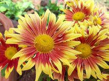 Blanket Flowers in a garden. royalty free stock image