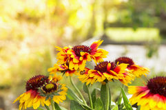 Blanket flowers with ladybug. In garden Royalty Free Stock Photography