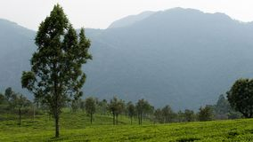 Tea cultivation with mountain background royalty free stock image