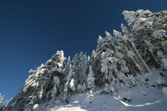 Blanketed Forest. Snow covered trees against the background of a deep blue sky Stock Photo