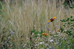 Blanketflower в поле Стоковое Фото