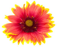 Blanketflower 免版税库存照片