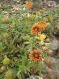 Blanketflower στοκ φωτογραφίες με δικαίωμα ελεύθερης χρήσης