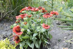 Blanketflower d'Ommon ou gaillardia commun Images stock