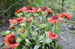 Blanketflower di Ommon o gaillardia comune Fotografia Stock