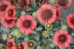 Blanketflower di Ommon o gaillardia comune Fotografia Stock Libera da Diritti