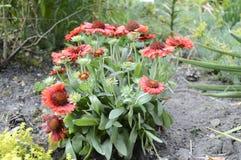 Blanketflower di Ommon o gaillardia comune Immagini Stock