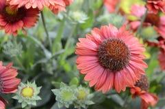 Blanketflower di Ommon o gaillardia comune Immagine Stock