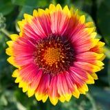 Blanketflower ( Gaillardia grandiflora) Stock Photo