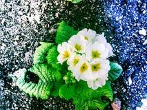 Blanquee la belleza de flores Fotografía de archivo libre de regalías