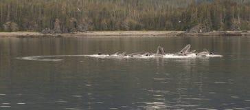Blasen-Fütterungswale, Tom Wurl stockbilder