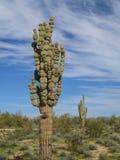 Blasenarm Saguarokaktus Lizenzfreies Stockbild