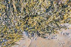 Blasenseetang auf dem Strand Lizenzfreies Stockbild