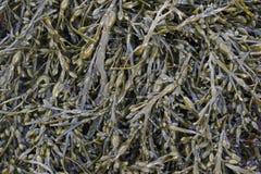 Blasenseetangmeerespflanze lizenzfreies stockbild