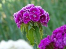 Blasse purpurrote türkische Gartennelke mit weißer Grenze von Blumenblättern lizenzfreie stockbilder
